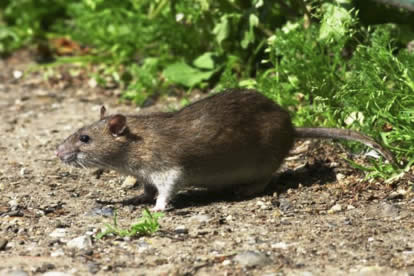 Species Selective Rodenticide